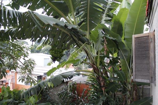 Quintal da entrada da casa: ao invés de vaga para automóveis, bananeiras.