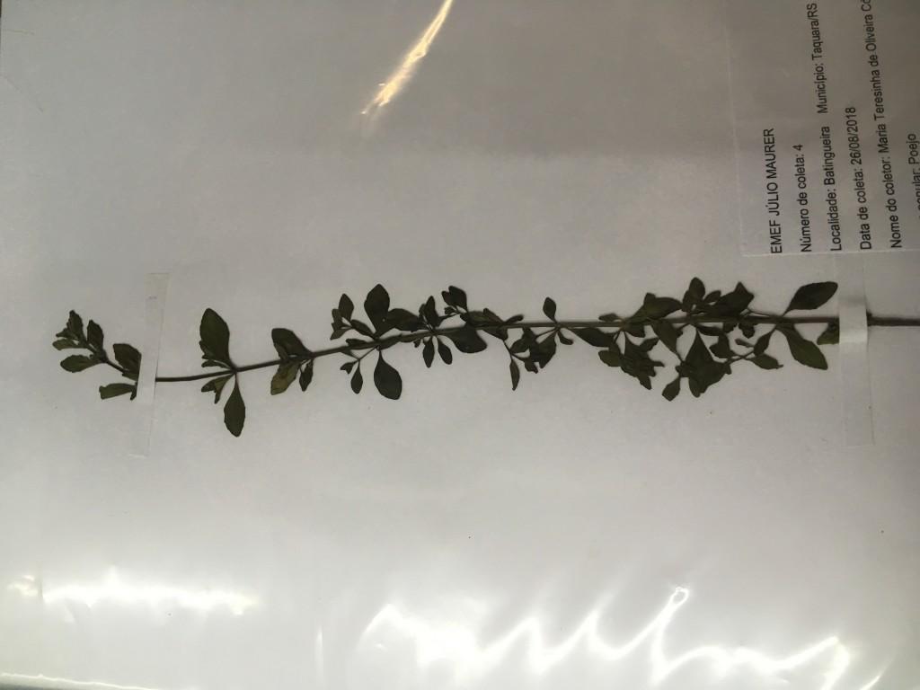 amostra de planta coletada no projeto mostratec 2018