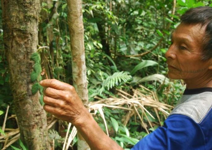 Indígenas criam enciclopédia de plantas medicinais para novas gerações